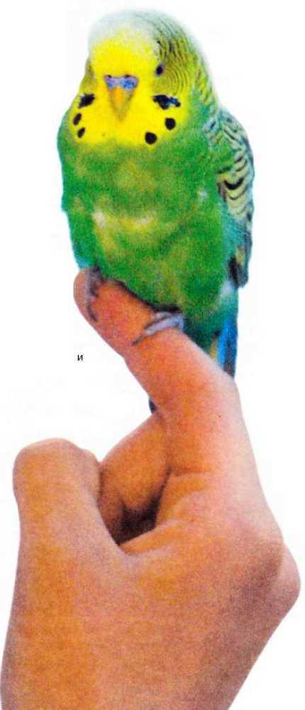 Волнистые попугайчики - image10.jpg