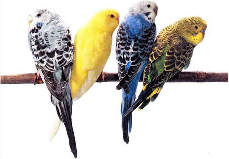Волнистые попугайчики - image2.jpg