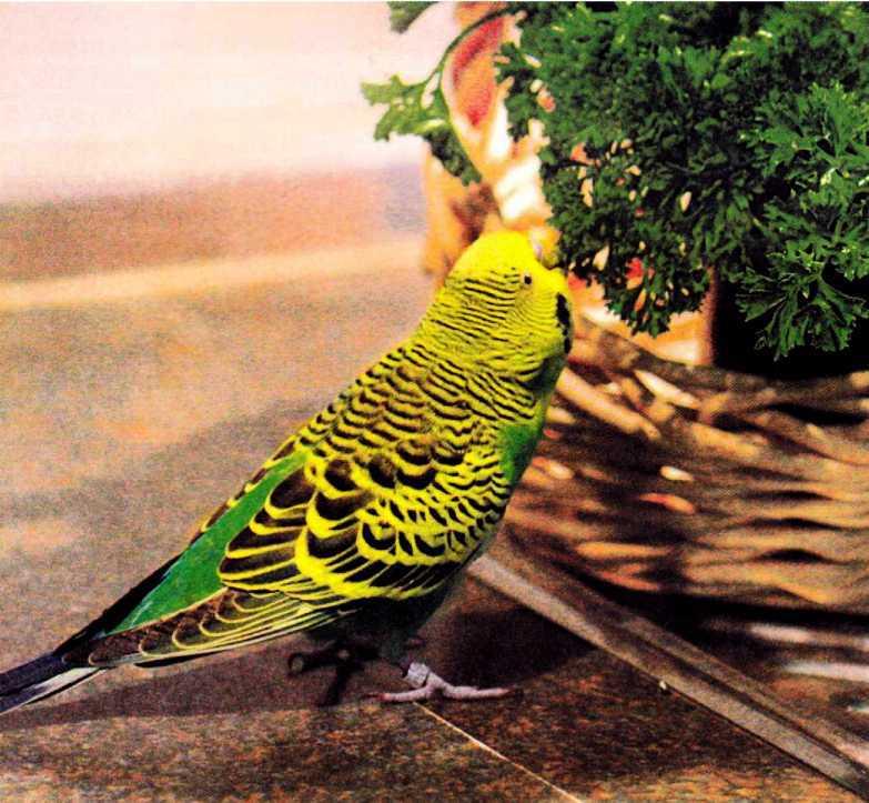 Волнистые попугайчики - image4.jpg