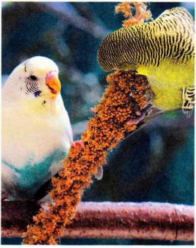 Волнистые попугайчики - image5.jpg