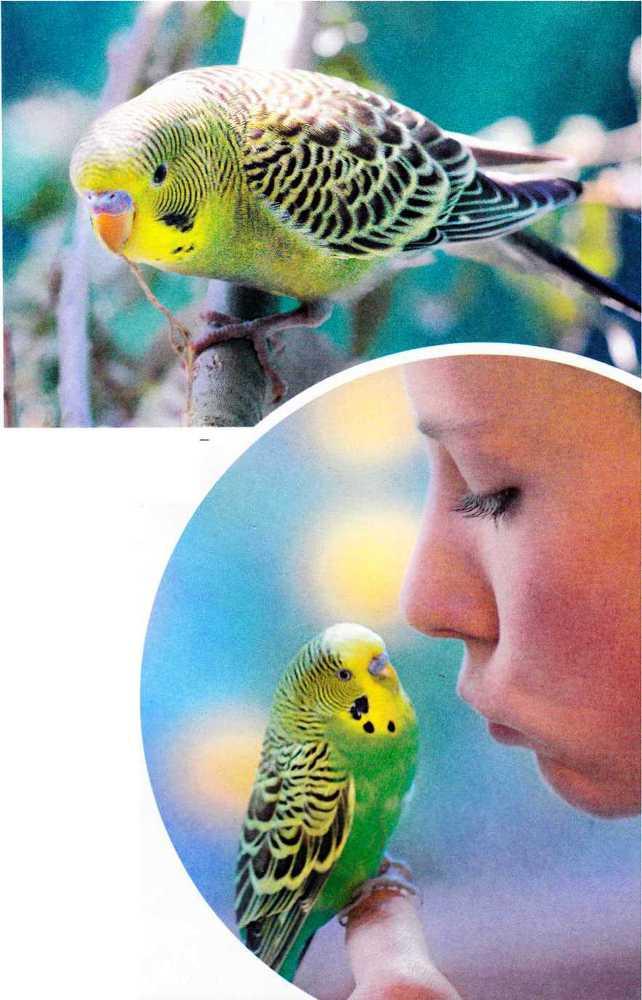 Волнистые попугайчики - image6.jpg