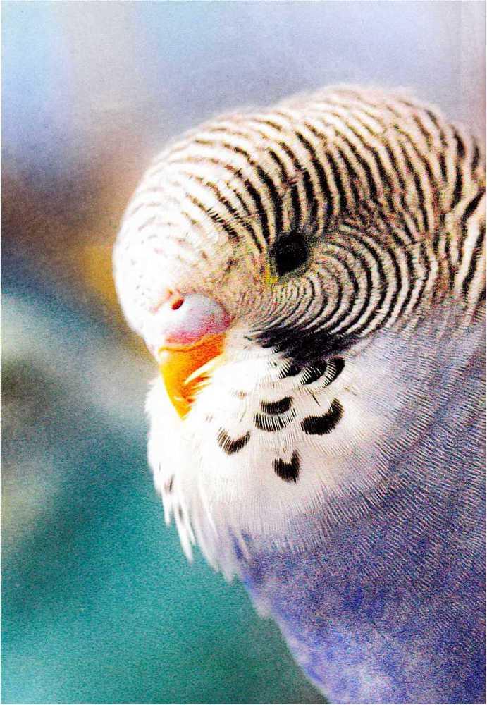 Волнистые попугайчики - image7.jpg