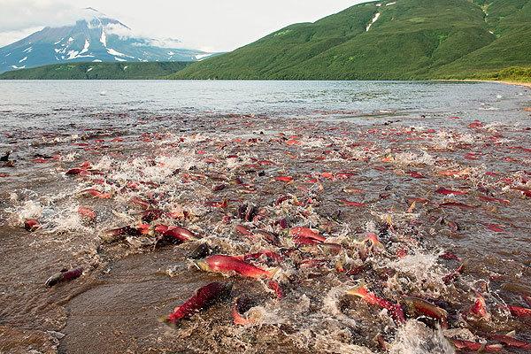 Жизнь и смерть лососевых рыб на окраинах нашей родины (СИ) - img_0